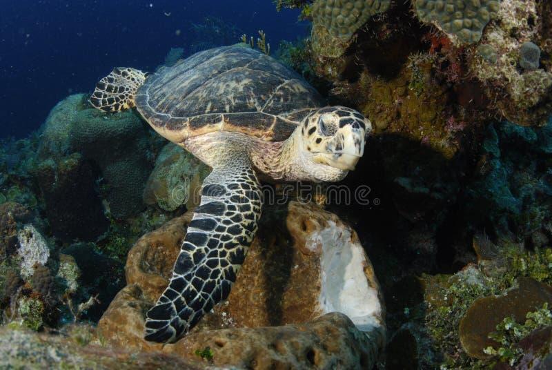 Hawksbill Schildkröte, die einen Schwamm isst lizenzfreie stockbilder