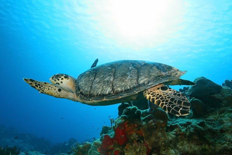 Hawksbill Schildkröte (Eretmochelys imbriocota) in Cozu stockbild