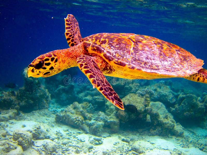 Hawksbill Schildkröteschwimmen mögen fliegen lizenzfreie stockfotos
