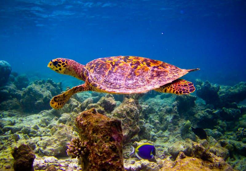 Hawksbill Schildkröteschwimmen mögen fliegen lizenzfreies stockbild