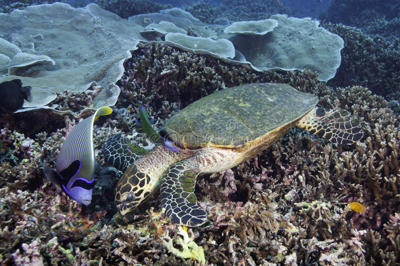 Hawksbill Sea Turtle. (Eretmochelys imbricata) feeding on reef with emperor angelfish, (Pomacanthus imperator) near by stock photo