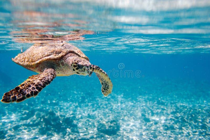 Hawksbill sea turtle. Swimming in Indian ocean in Seychelles