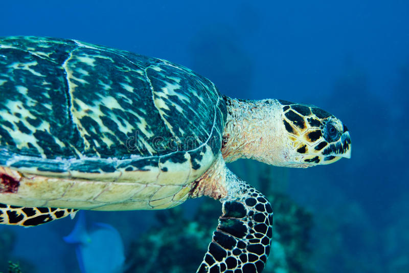 Hawksbill Sea Turtle stock photography