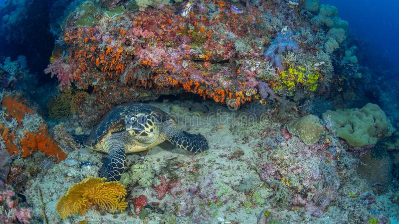 Hawksbill sea turtle, Chelonia mydas. Misool, Raja Ampat, Indonesia. A close-up wide-angle image of a hawksbill sea turtle, Chelonia mydas, looking directly into royalty free stock photos