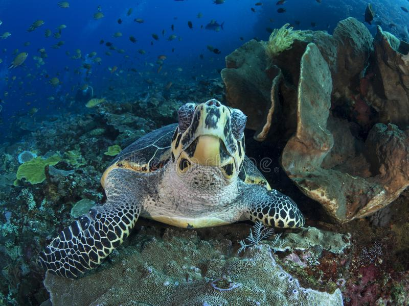 Hawksbill sea turtle royalty free stock images