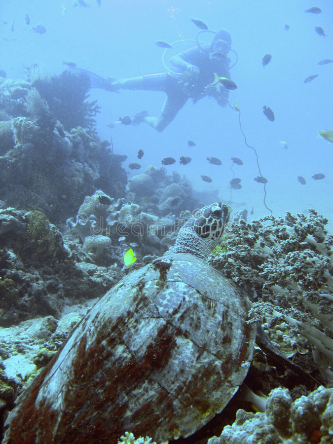 Hawksbill sea turtle and diver royalty free stock photography