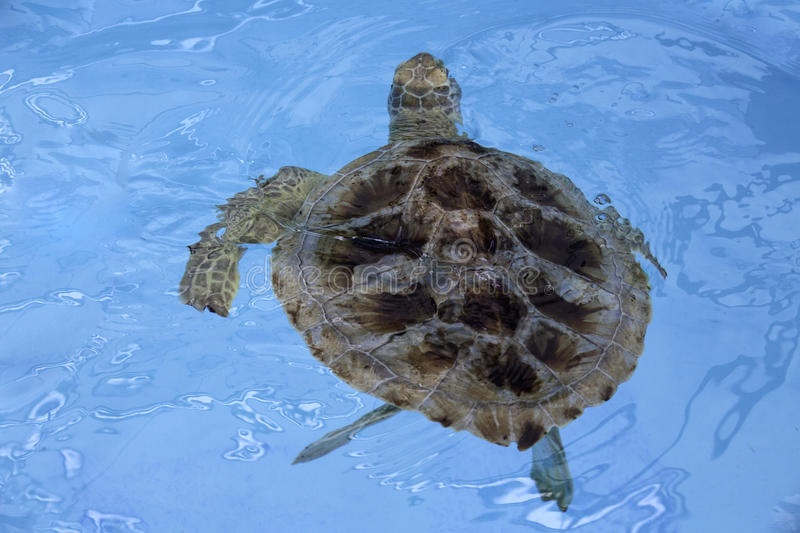 Hawksbill sea turtle (Eretmochelys imbricata) royalty free stock images