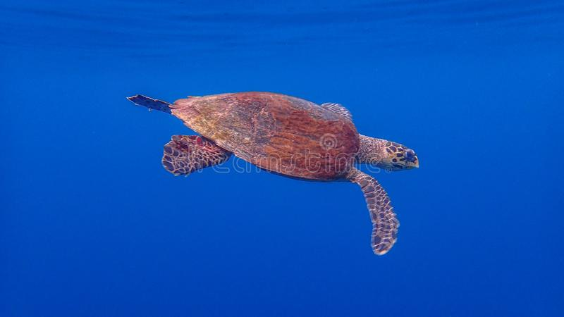 Hawksbill sea turtle, Eretmochelys imbricata. Blue water background, Raja Ampat stock image