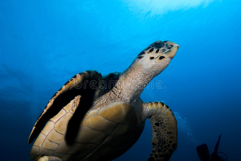 A Hawksbill Sea Turtle (Eretmochelys imbricata) royalty free stock photography