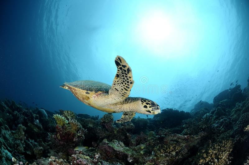 Hawksbill Sea Turtle swimming by in Maldives royalty free stock photography