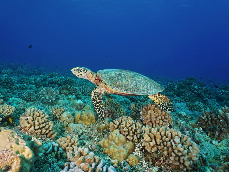 Hawksbill sea turtle Eretmochelys imbricata. A hawksbill sea turtle, Eretmochelys imbricata, underwater on a coral reef, Pacific ocean, Tuamotu archipelago royalty free stock photo