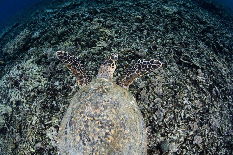 Hawksbill Sea Turtle Swimming in Raja Ampat. An endangered Hawksbill sea turtle swims over a rubble slope in Raja Ampat, Indonesia. This remote, tropical region stock photo