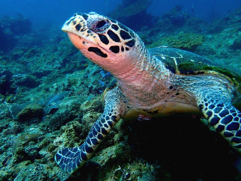 The Hawksbill sea turtle in Tunku Abdul Rahman Park, Kota Kinabalu, Sabah. Malaysia Borneo. royalty free stock photos