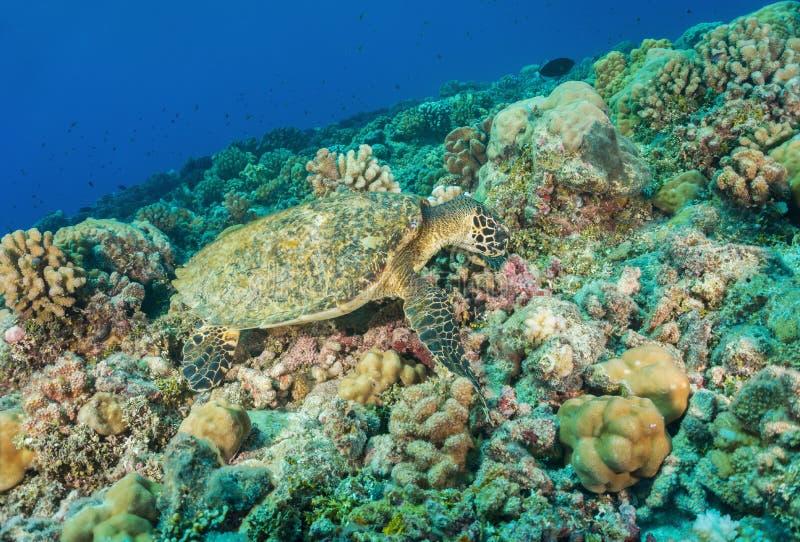 Hawksbill sea turtle underwater on coral reef stock photo