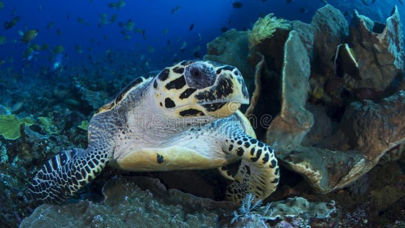 Hawksbill Seeschildkröte lizenzfreies stockfoto