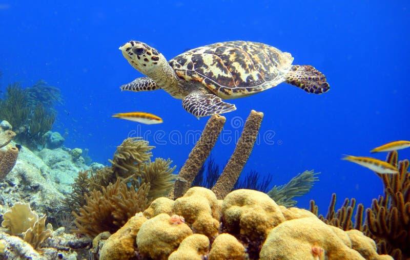 Hawksbill sköldpadda royaltyfri bild