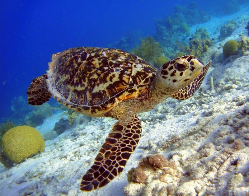 Hawksbill sköldpadda royaltyfria bilder