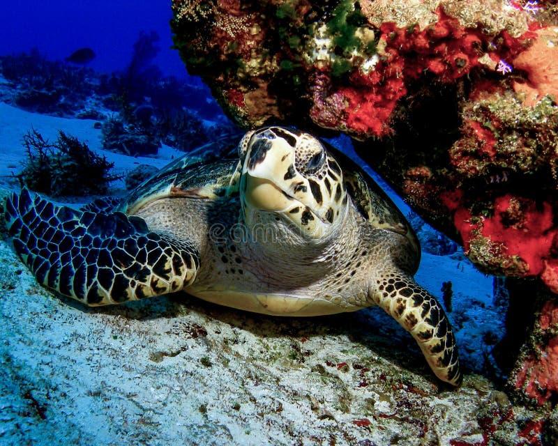Hawksbill sköldpadda som vilar under en Coral Ledge i Cozumel, Mexico royaltyfria bilder