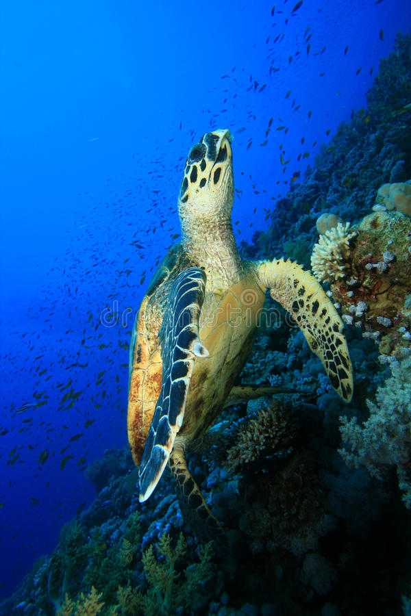Download Hawksbill Turtle stock photo. Image of tropical, aquatic - 11502060