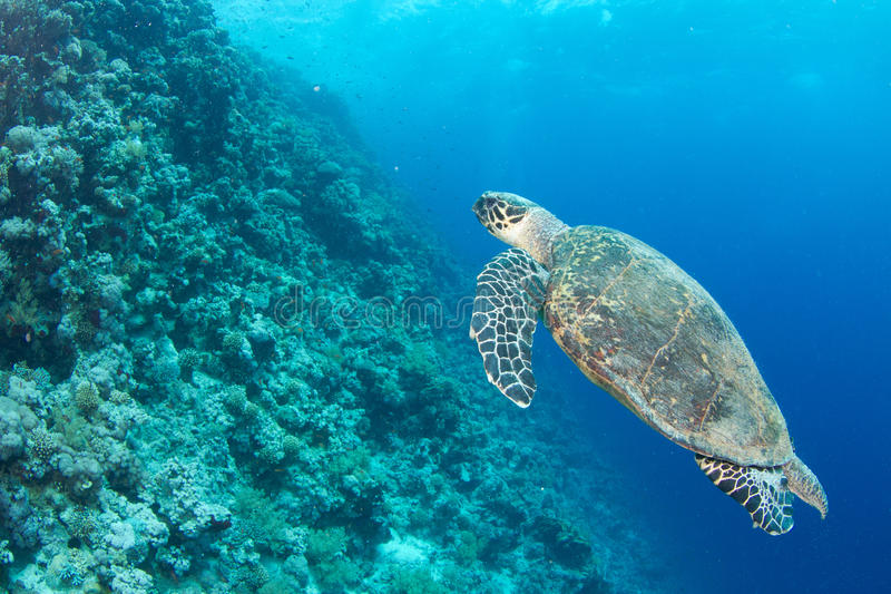 Download Hawksbill turtle stock image. Image of animal, coral - 20616199