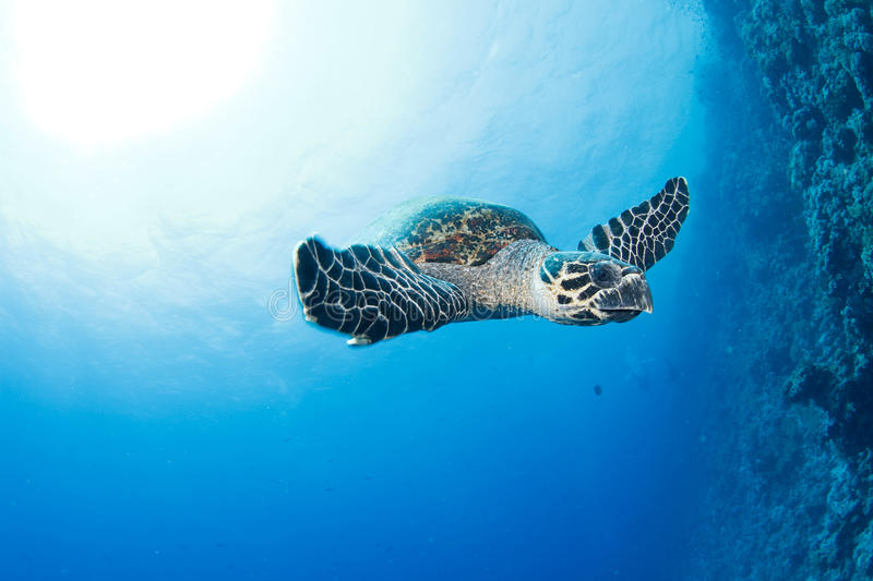 Hawksbill turtle. And reef in the red sea stock photo