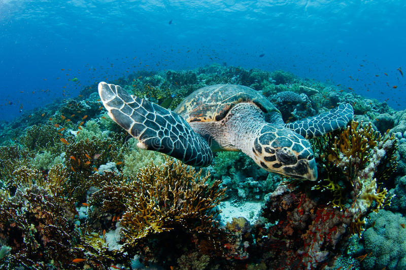 Download Hawksbill turtle stock image. Image of coral, diving - 20616295