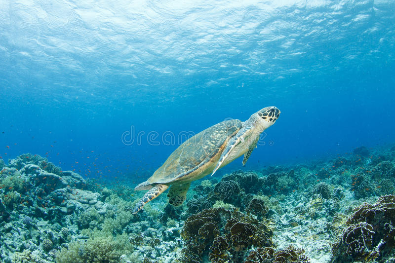 Hawksbill turtle. And reef in the red sea stock photography
