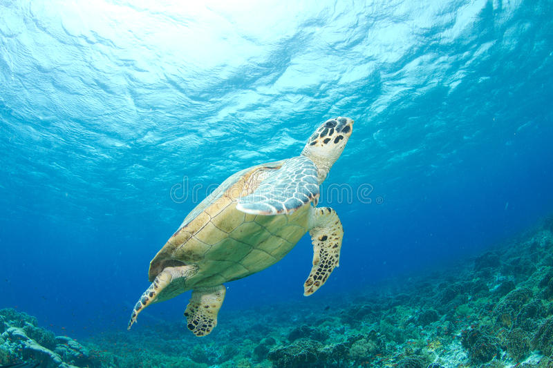 Hawksbill turtle. And reef in the red sea royalty free stock photo