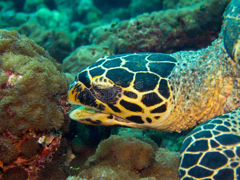 Download Hawksbill turtle stock photo. Image of endangered, hawksbill - 28981304