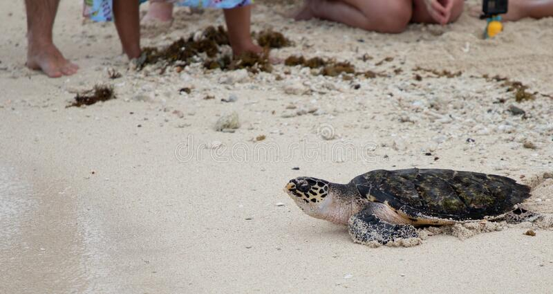 Hawksbill turtle baby on beach stock photos