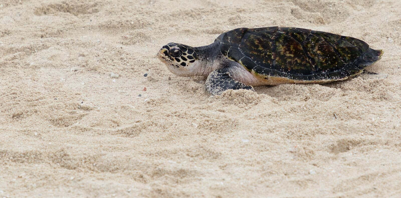 Hawksbill turtle baby on beach stock photography