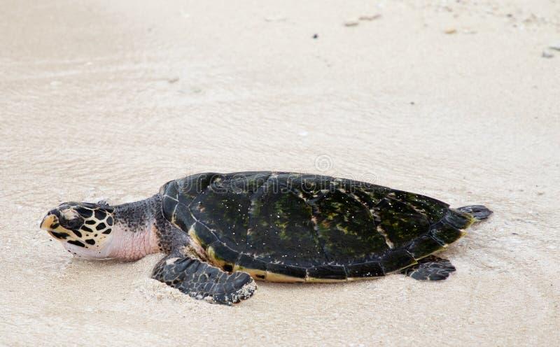 Hawksbill turtle baby on beach stock image