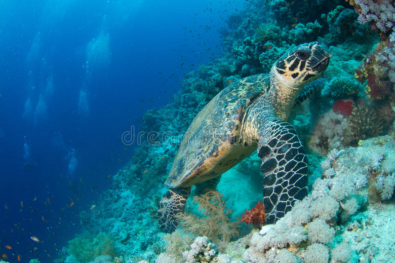 Hawksbill turtle in coral reef. In the red sea royalty free stock image