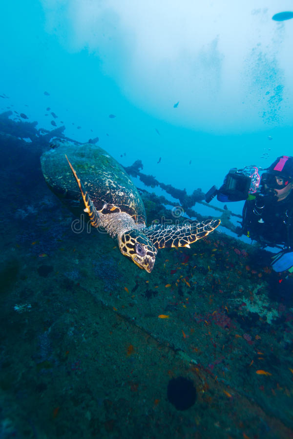 Hawksbill turtle and diver photographer royalty free stock photography