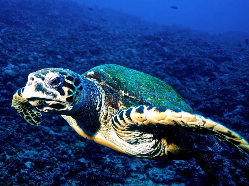 Hawksbill turtle (Eretmochelys imbricata) royalty free stock image