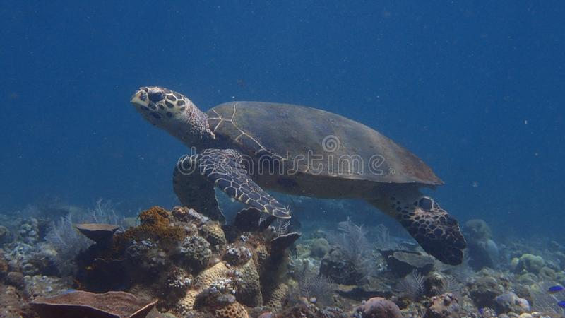 Hawksbill turtle, Eretmochelys imbricata in amed, bali indonesia royalty free stock photos