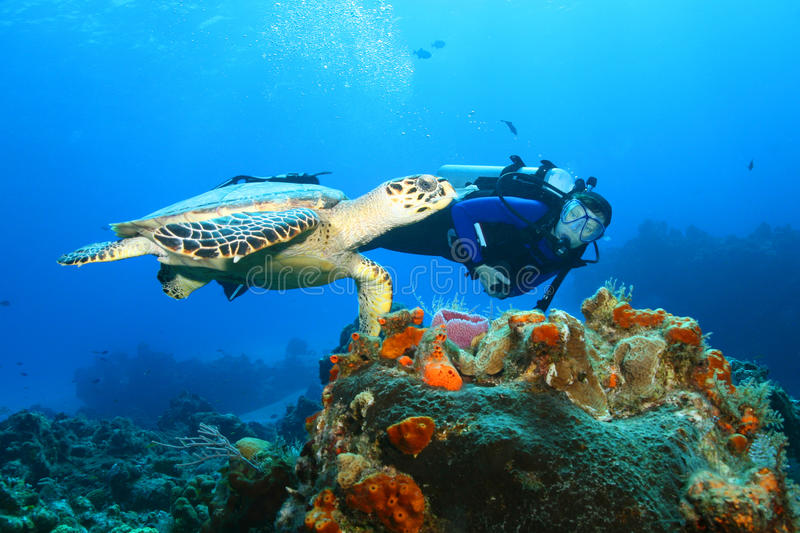 Hawksbill Turtle (Eretmochelys imbricata)and Diver. Scuba diver swimming with endangered Hawksbill Turtle in the clear blue water of Cozumel Mexico