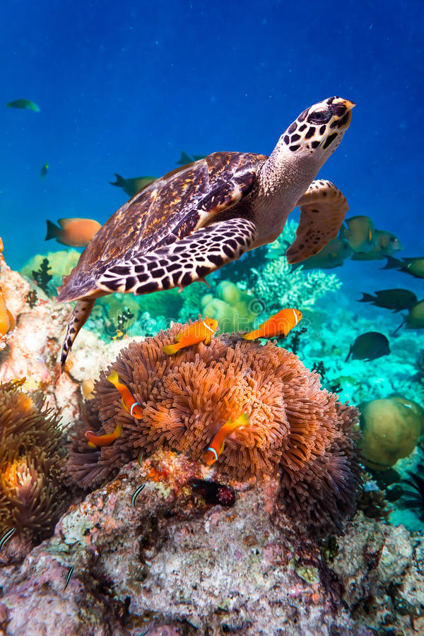 Hawksbill Turtle - Eretmochelys imbricata royalty free stock photos