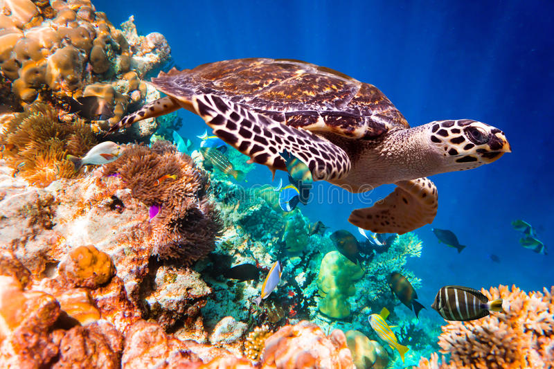 Hawksbill Turtle - Eretmochelys imbricata. Floats under water. Maldives Indian Ocean coral reef stock photos