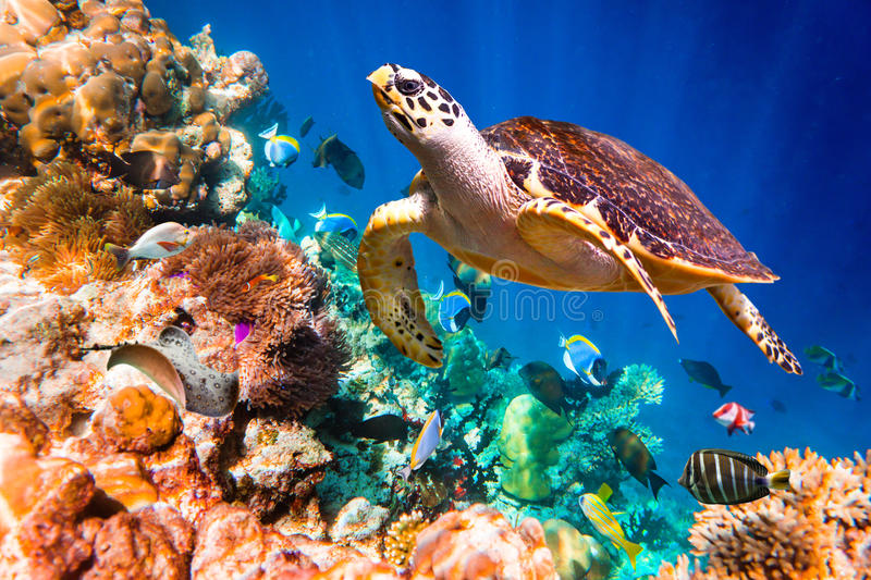 Hawksbill Turtle - Eretmochelys imbricata. Floats under water. Maldives Indian Ocean coral reef royalty free stock photo