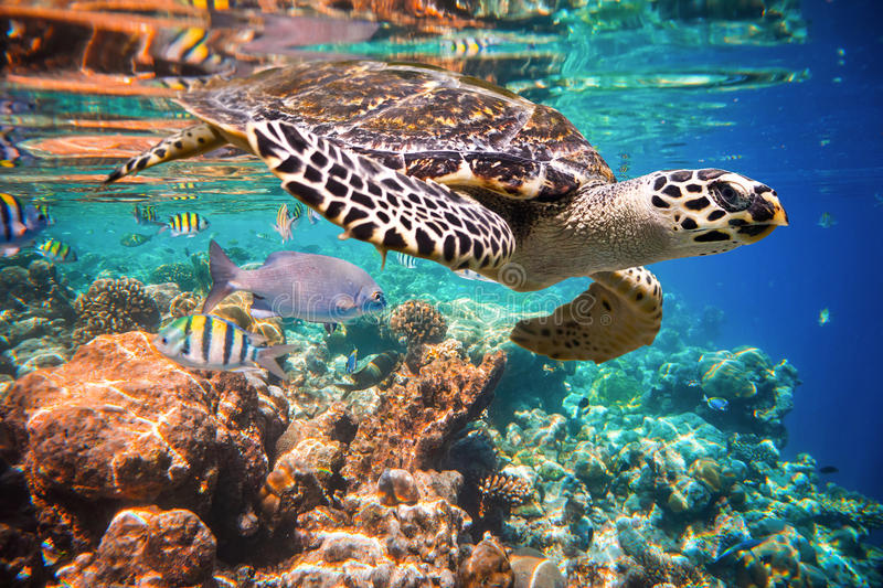 Hawksbill Turtle - Eretmochelys imbricata. Floats under water. Maldives Indian Ocean coral reef stock photo