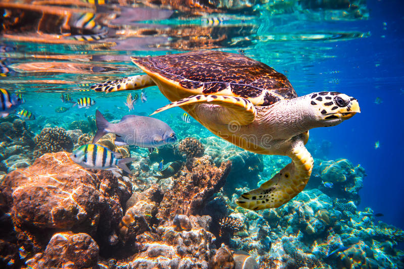 Hawksbill Turtle - Eretmochelys imbricata royalty free stock photography