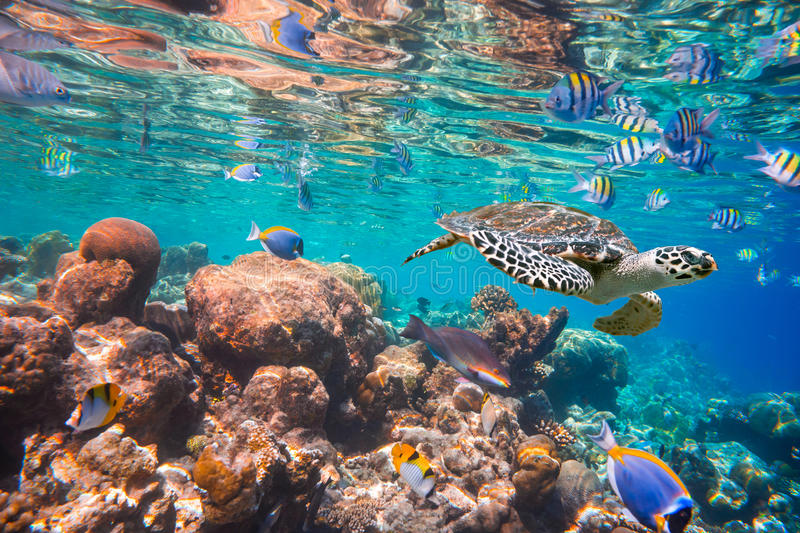 Hawksbill Turtle - Eretmochelys imbricata. Floats under water. Maldives Indian Ocean coral reef stock images