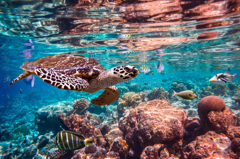 Hawksbill Turtle - Eretmochelys imbricata. Floats under water. Maldives Indian Ocean coral reef stock image