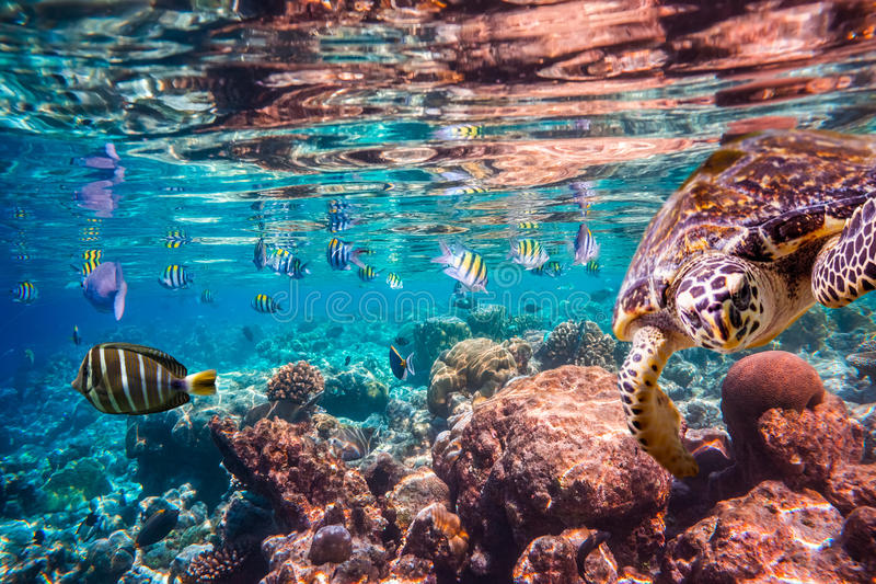 Hawksbill Turtle - Eretmochelys imbricata. Floats under water. Maldives Indian Ocean coral reef stock photography