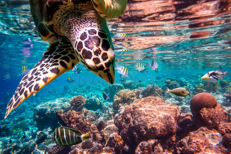 Hawksbill Turtle - Eretmochelys imbricata. Floats under water. Maldives Indian Ocean coral reef royalty free stock image