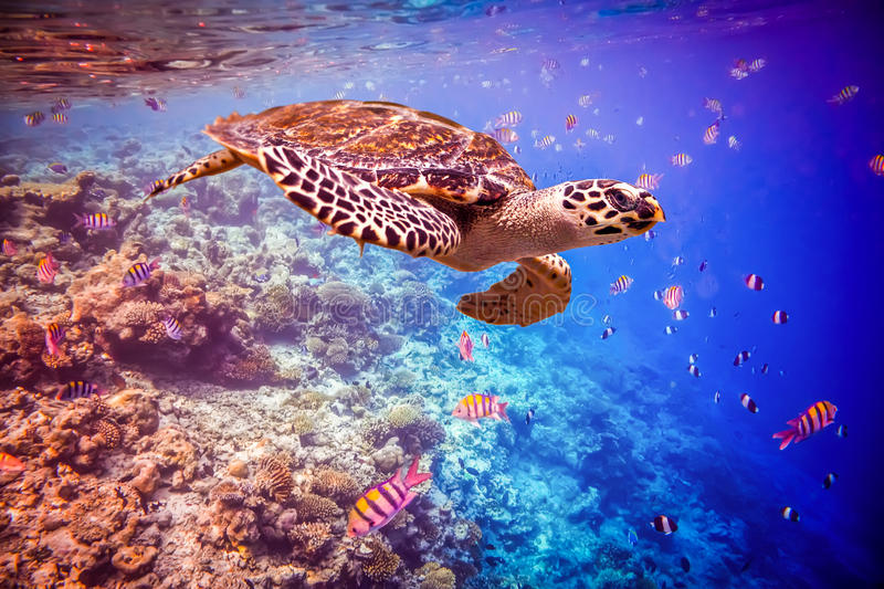 Hawksbill Turtle - Eretmochelys imbricata. Floats under water. Maldives - Ocean coral reef. Warning - authentic shooting underwater in challenging conditions. A royalty free stock photos