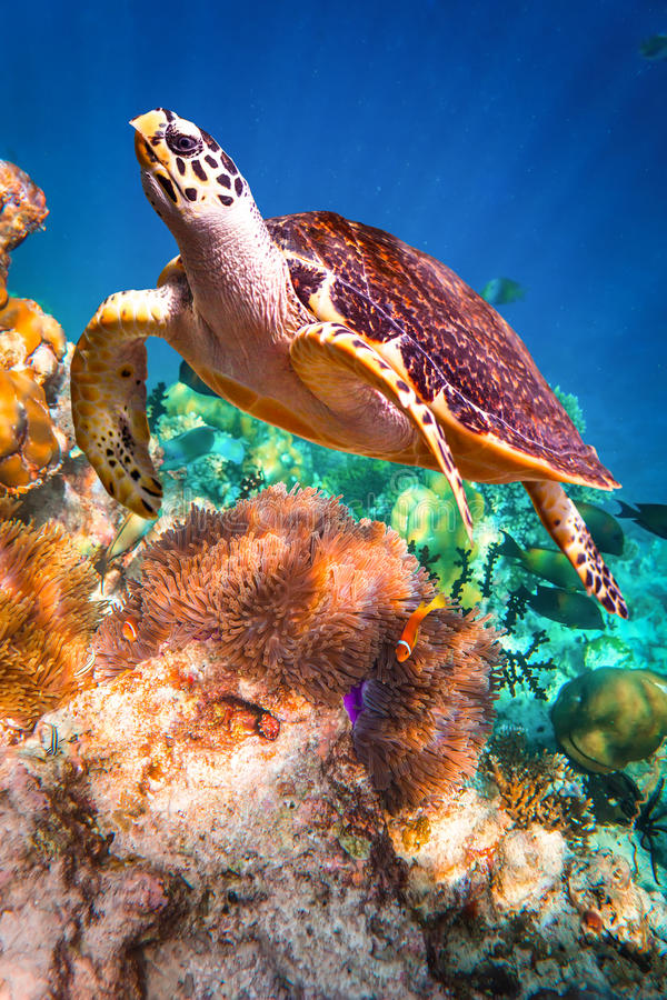 Hawksbill Turtle - Eretmochelys imbricata. Floats under water. Maldives - Ocean coral reef. Warning - authentic shooting underwater in challenging conditions. A stock photos