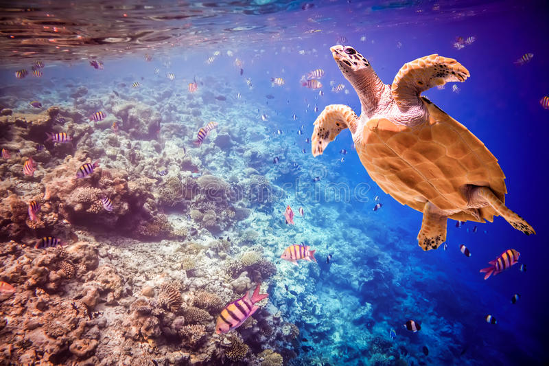 Hawksbill Turtle - Eretmochelys imbricata. Floats under water. Maldives - Ocean coral reef. Warning - authentic shooting underwater in challenging conditions. A stock image