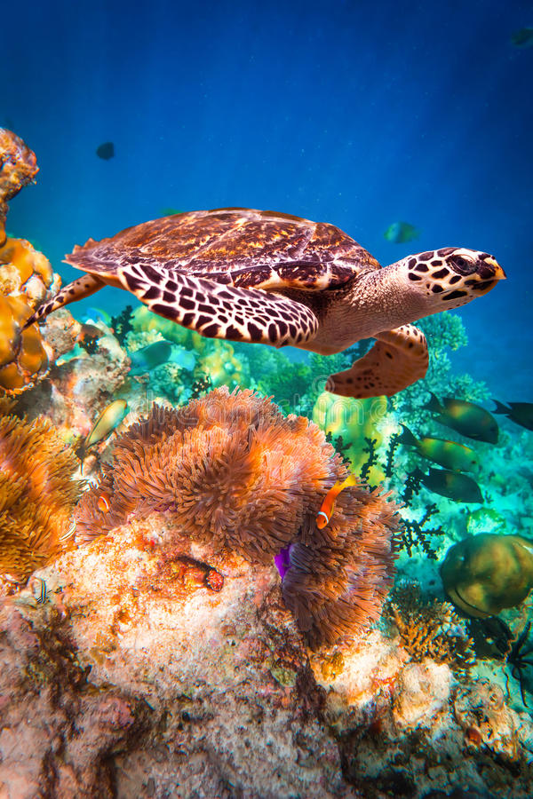 Hawksbill Turtle - Eretmochelys imbricata. Floats under water. Maldives - Ocean coral reef. Warning - authentic shooting underwater in challenging conditions. A royalty free stock photography